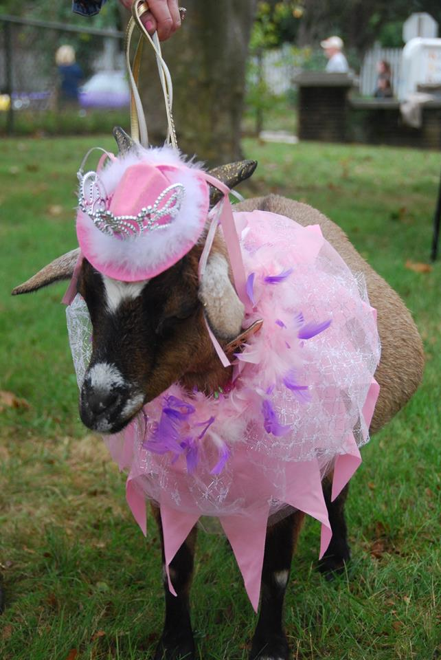 Photo of a goat dressed up in pink